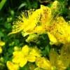 Трава звіробій - корисні властивості і протипоказання