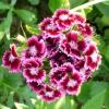 Турецька гвоздика в квітнику
