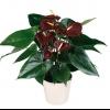 У антуріума листя сохне на кінчиках, посередині рвуться і квіти в`януть