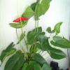 У антуріума сохнуть листя (раніше був пухнастий, квітки високі, а тепер обмелчал (кострубаті