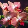 У фаленопсиса починає опадати цвети.что робити?