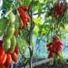 Дивовижний томат незвичайної форми - «аурія»: опис сорту і фото