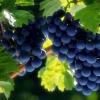 Добрива для гарного росту і розвитку кущів винограду