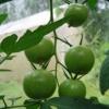 Догляд за томатами влітку, підв`язка, пасинкування, підгодівлі, боротьба з хворобами