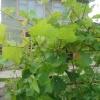 Догляд за виноградом влітку: обрізка, підживлення, прищіпка пагонів