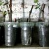 Вкорінюємо живці винограду в кільчевателе