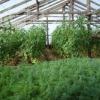 Кріп і петрушка: як виростити в теплиці і домогтися гарної врожайності взимку?
