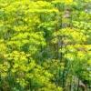 Кріп як пряно-смакова городня культура, посів кропу і догляд за ним