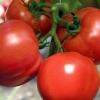 Урожай смачних помідор без особливого клопоту - томат «калинка-малинка»: опис сорту, його переваги і недоліки