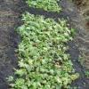 Пристрій грядок для вкорінення зелених живців