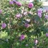 Варення і лікер з пелюсток троянд