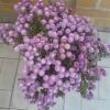 Варіант зимівлі хризантем