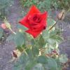 Весняна підгодівля троянд