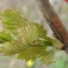 Весняна щеплення винограду