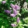 Види і сорти бузку і її роль в оздобленні саду