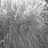 Види орнаментальних трав і їх використання в дизайні саду