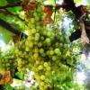 Виноград сергеева н. Г .: фотографії