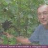 Виноград в новосибірську, досвід вирощування в суворих кліматичних умовах