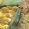Гливи на тирсі, агротехніка вирощування грибів