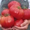Смачний велетень на вашому городі - томат «велетень малиновий»: опис сорту, його особливості та способи вирощування