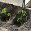 Можливі причини пожовтіння листя у тепличної розсади помідорів