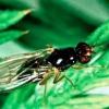 Шкідник коренеплоду морквяна муха, як з нею боротися