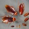 Все про те, як розмножуються таргани і корисні поради щодо запобігання швидкого розмноження