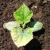 З`ясовуємо причини чому у розсади огірків сохнуть краю листя, жовтіють і скручуються листя? Що робити в такому випадку