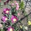 Викопка і зберігання цибулин тюльпанів
