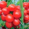 Витривалий і урожайний томат «снігопад» f1 - опис сорту, походження, особливості вирощування