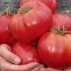Вирощуємо томат «бичачий лоб»: опис сорту, фото, рекомендації