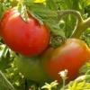 Вирощуємо томат «ранній-83»: опис сорту і фото плодів