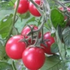 Вирощуємо високоврожайний томат «ожаровський малиновий»: опис сорту, достоїнства і недоліки