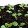 Вирощування квіткової розсади будинку