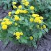 Вирощування дівочої ромашки з насіння - фото, досвід, поради