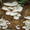 Вирощування грибів в домашніх умовах