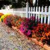 Вирощування хризантем з насіння, посадка і правильний догляд на дачі
