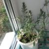 Вирощування лаванди в домашніх умовах