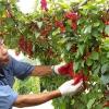 Вирощування лимонника в саду і секрети догляду за ним