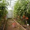 Вирощування овочів круглий рік в теплиці