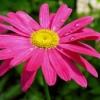 Вирощування пиретрума і правильний догляд за цією рослиною