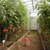 Вирощування помідор в теплиці. Поради та рекомендації