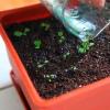 Вирощування примули з насіння, догляд і умови