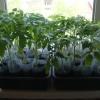 Вирощування розсади помідорів