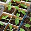 Вирощування розсади. Тонкощі і секрети