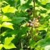 Вирощування смородини на присадибній ділянці