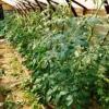 Вирощування томатів у теплиці