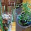 Вирощування зелені будинку на підвіконні без землі