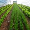 Вирощування зелені і овочів круглий рік в теплиці