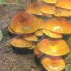 Вирощування зимових грибів в штучних умовах